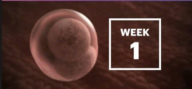 هفته اول بارداری