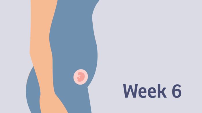 هفته ششم بارداری