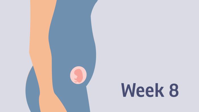 هفته هشتم بارداری